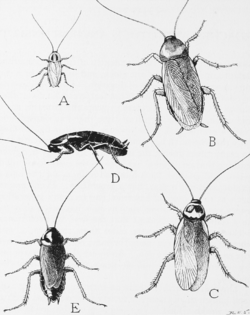 Snodgrass common household roaches.png