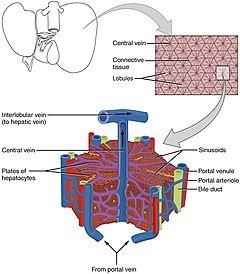 240px-2423_Microscopic_Anatomy_of_Liver.
