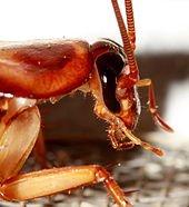 170px-Cockroach_head.jpg