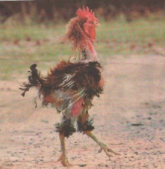 5aa711550139b_plucked20rooster.jpg.3455485d44168736f2437a4813418663.jpg