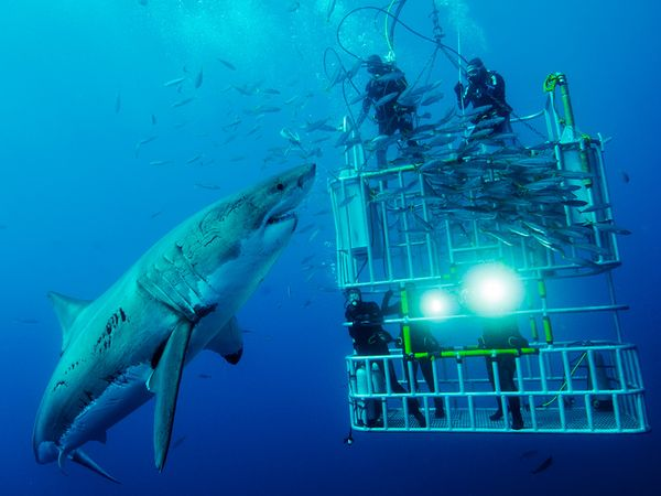 cage-divers-great-white_45671_600x450.jpg.fe0dc9168dabd4d4cbe6625f00663e0f.jpg